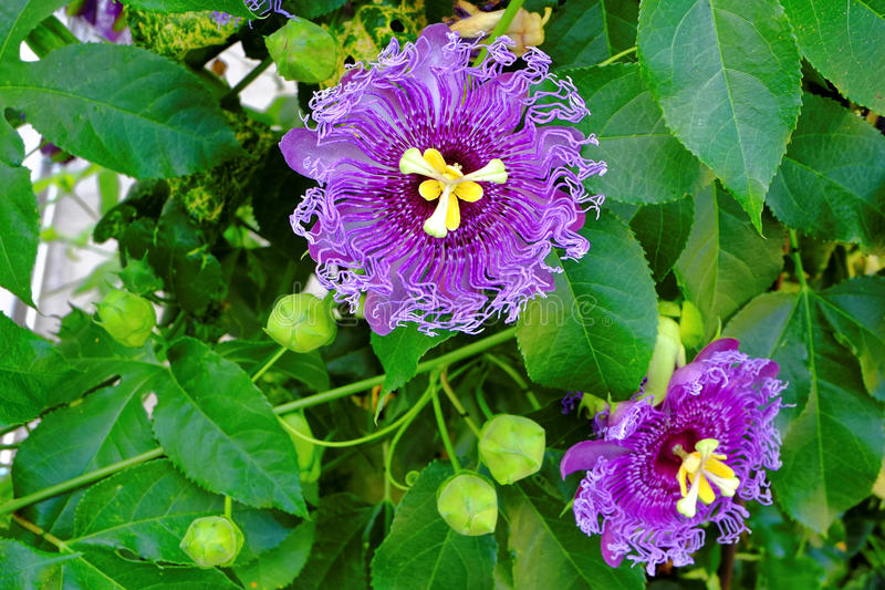 Passionflowers purple bloom in green bush royalty free stock images