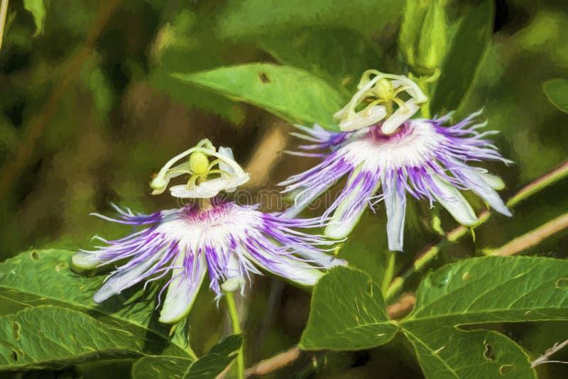 Passionflowrer porpora Maypop - incarnata della passiflora fotografie stock libere da diritti
