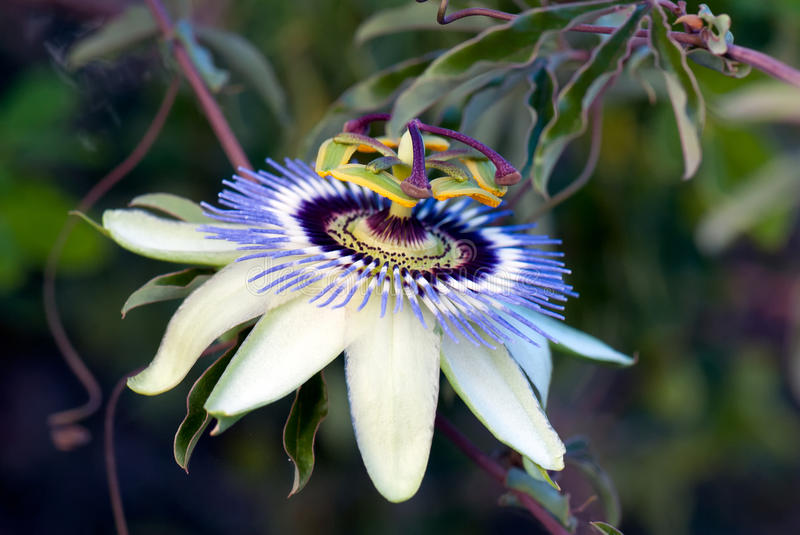 Passionfruit flower (Passiflora edulis). A macro shot of the flower of the passionfruit tree royalty free stock photography