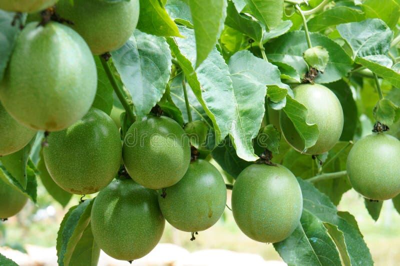 Passionfrukt, vitamin C, sund mat, passionfruit royaltyfria bilder