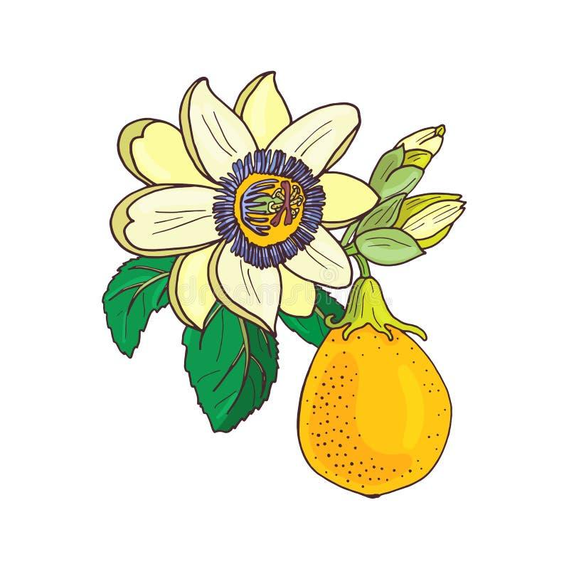 Passionsblommapassiflora, exotisk frukt f?r passion p? vit bakgrund stock illustrationer