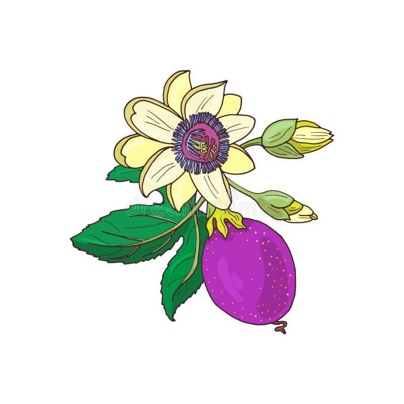 Passionsblommapassiflora, purpurf vektor illustrationer
