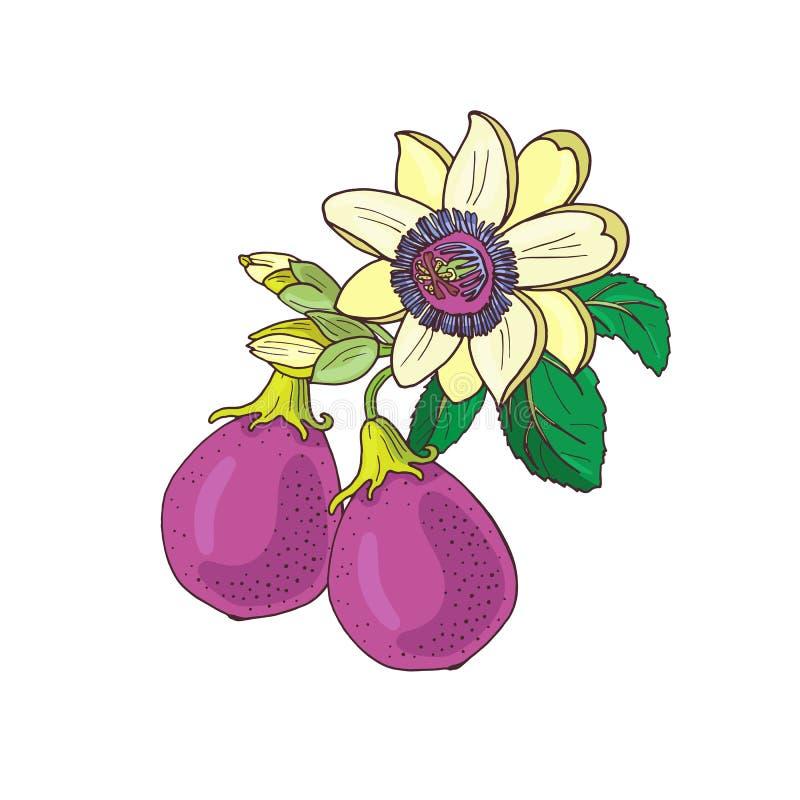 Passionsblommapassiflora, purpurf royaltyfri illustrationer