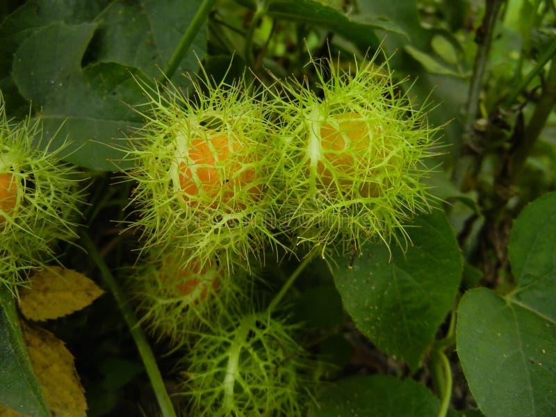 Passionsblume foetida- stinkende Leidenschaftsblume, Liebe-in-einnebel, Betriebsknall Kriechenrebe von Familie Passifloraceae stockfoto
