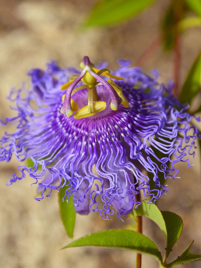 Passionsblume incarnata, das allgemein als Maypop, purpurrote Passionsblume, wilde Aprikose bekannt ist, ist eine schnell wachsen stockfotos