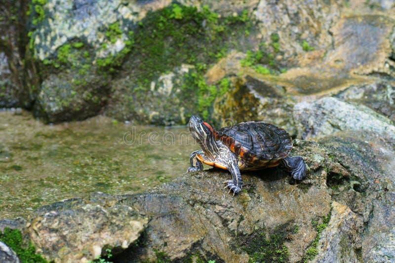 Passo della tartaruga sulla roccia fotografia stock