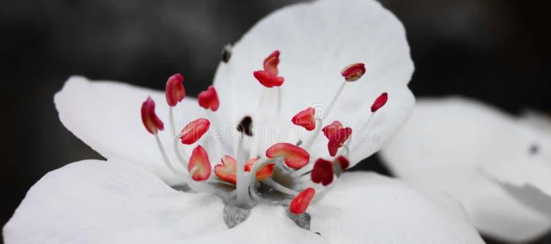 Passo do pistilo da flor da pera imagens de stock royalty free