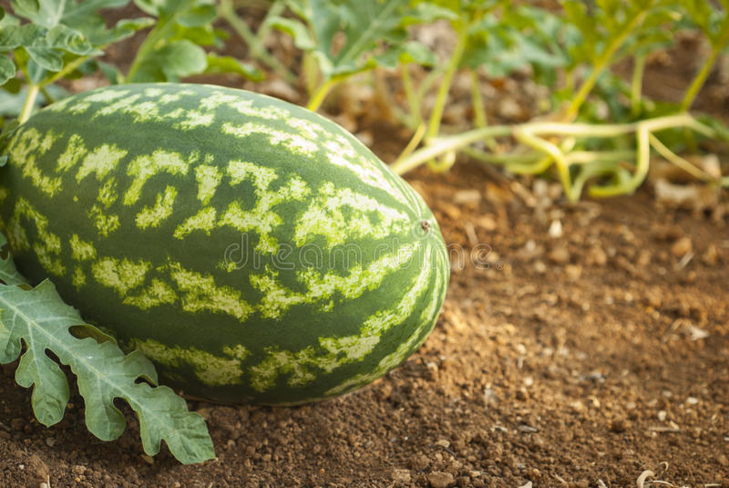 Download Pastèque photo stock. Image du enregistré, zone, melon - 76075792