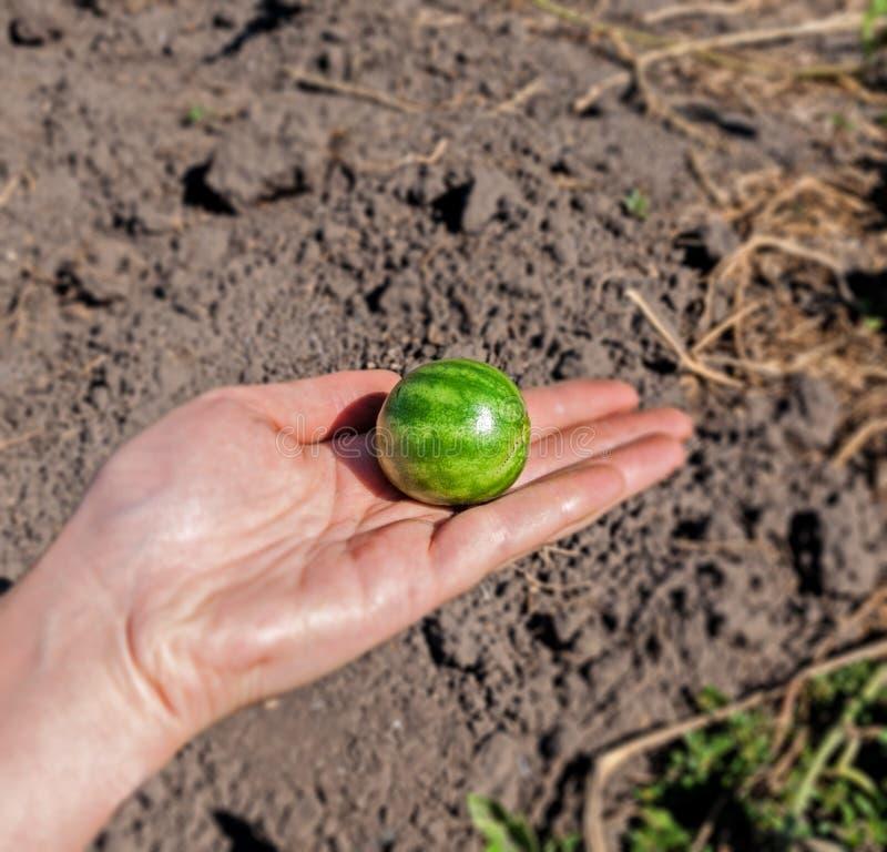 Pastèque très petite disponible photos stock