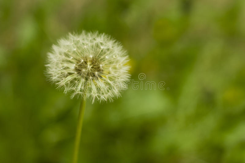 Past blossom dandelion royalty free stock photos