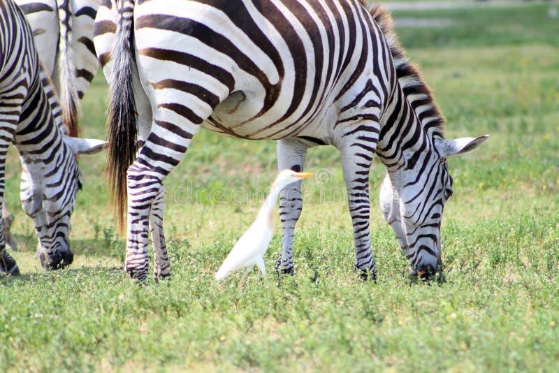 Pastagem das zebras e um pássaro fotografia de stock royalty free