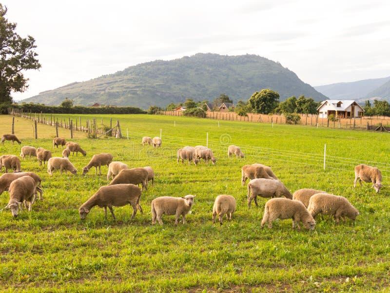 Pastagem de ovinos nos campos da região de Los Rios, na zona de Valdivia, no sul do Chile, Araucania Andean fotos de stock