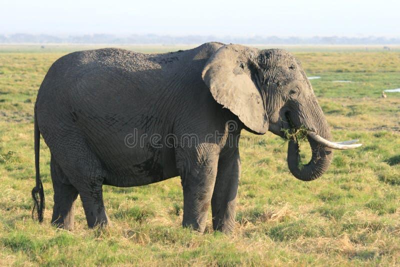 Pastagem do elefante africano em Kenya fotografia de stock