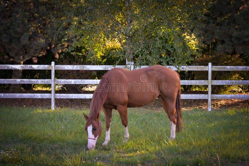 Pastagem na grama fotografia de stock