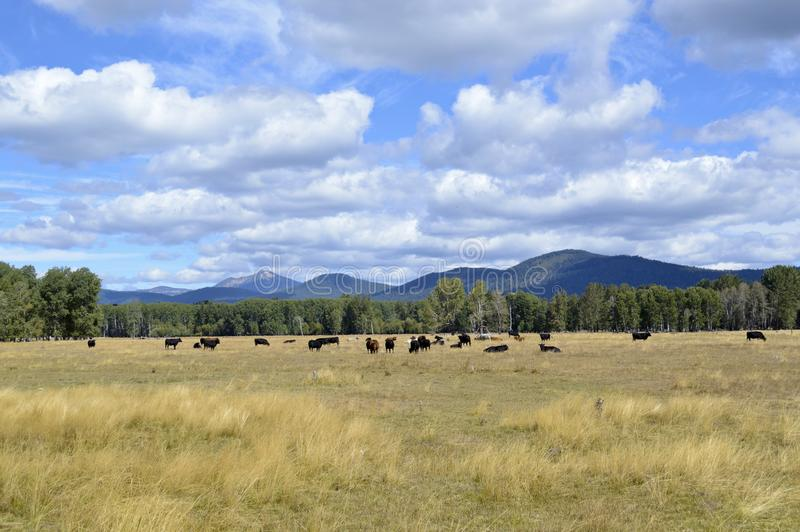 Pastando bois da carne em Oregon foto de stock royalty free