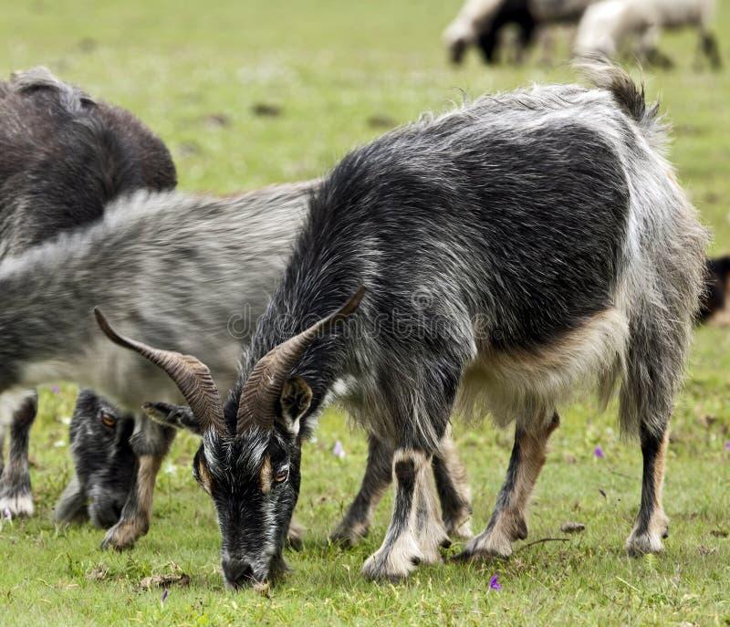 Pastando cabras imagens de stock