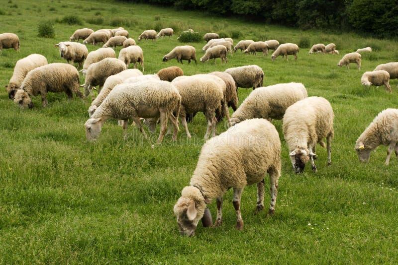 Pastando carneiros foto de stock
