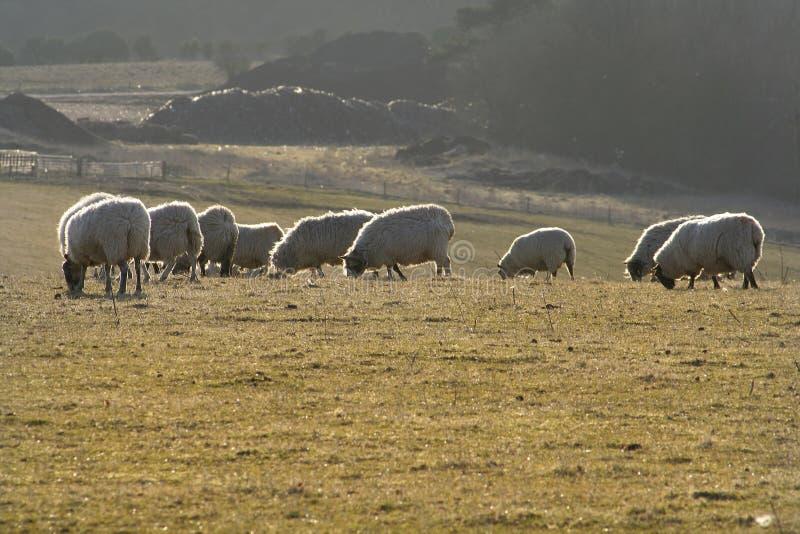 Pastando carneiros imagem de stock royalty free