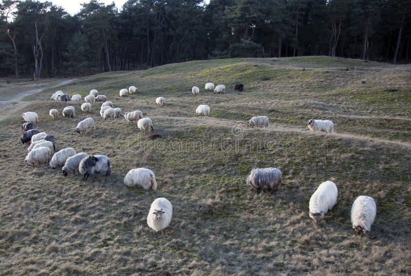 Pastando carneiros horned no pôr do sol na amarração perto de Zeist e de utrec foto de stock