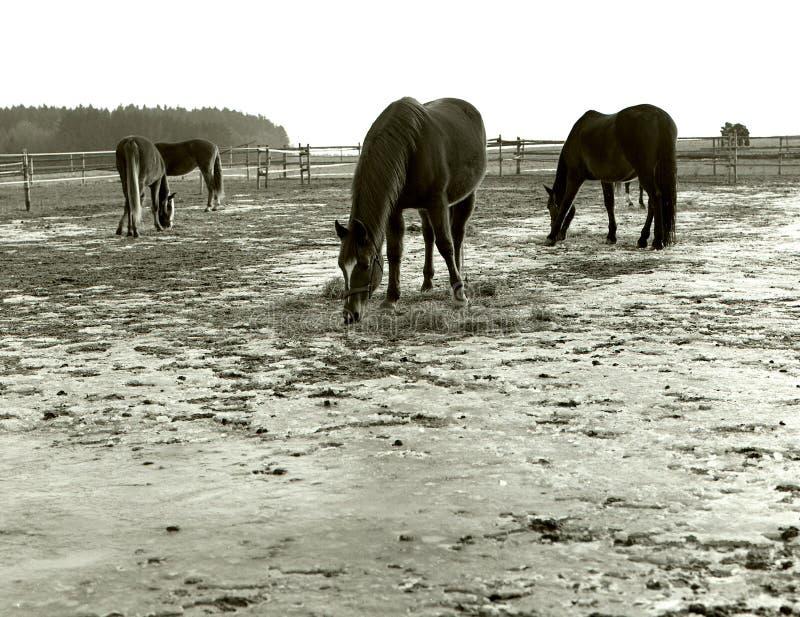 pastando cavalos em uma passarela livre do inverno imagem de stock