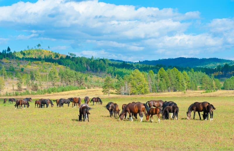 Pastando cavalos na pastagem do verão imagem de stock royalty free