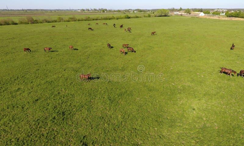 Pastando cavalos no campo Cavalos do tiro do quadrocopter Pasto para cavalos imagem de stock royalty free