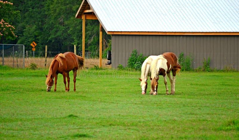 Pastando cavalos no pasto fotografia de stock
