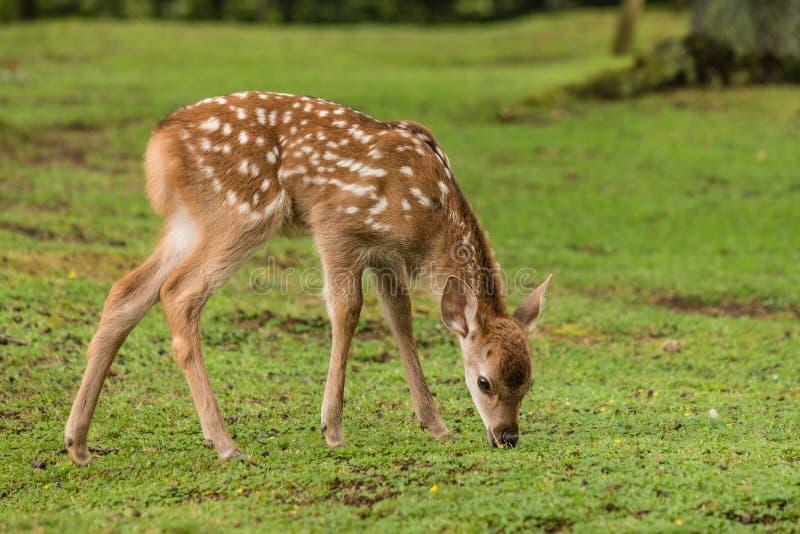 Pastando a jovem corça dos cervos do sika fotos de stock royalty free