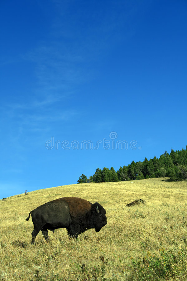 Pastando o búfalo foto de stock