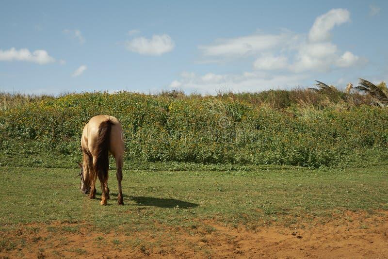 Download Pastando O Cavalo - Kauai, Havaí Foto de Stock - Imagem de havaí, campo: 65579058