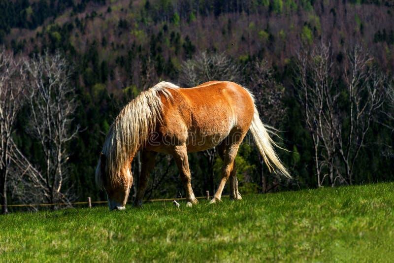 Pastando o cavalo no pasto foto de stock