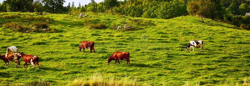 Pastando o gado no cerco rural velho imagem de stock royalty free