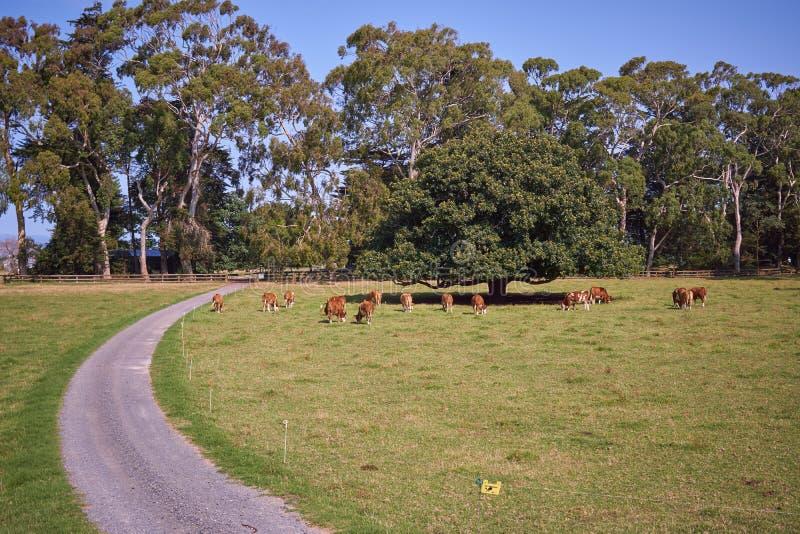 Pastando vacas imagem de stock royalty free