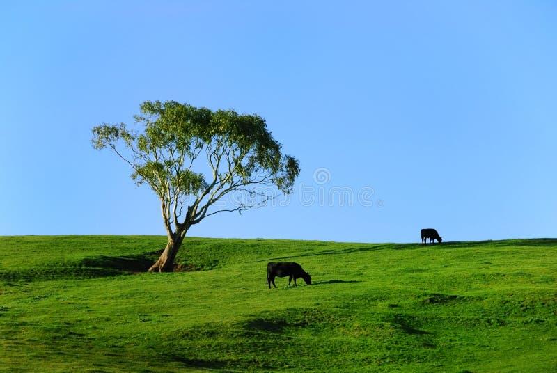 Pastando vacas fotografia de stock