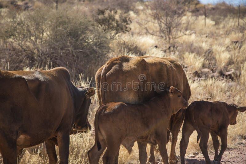 Pastando vacas em Namíbia imagem de stock