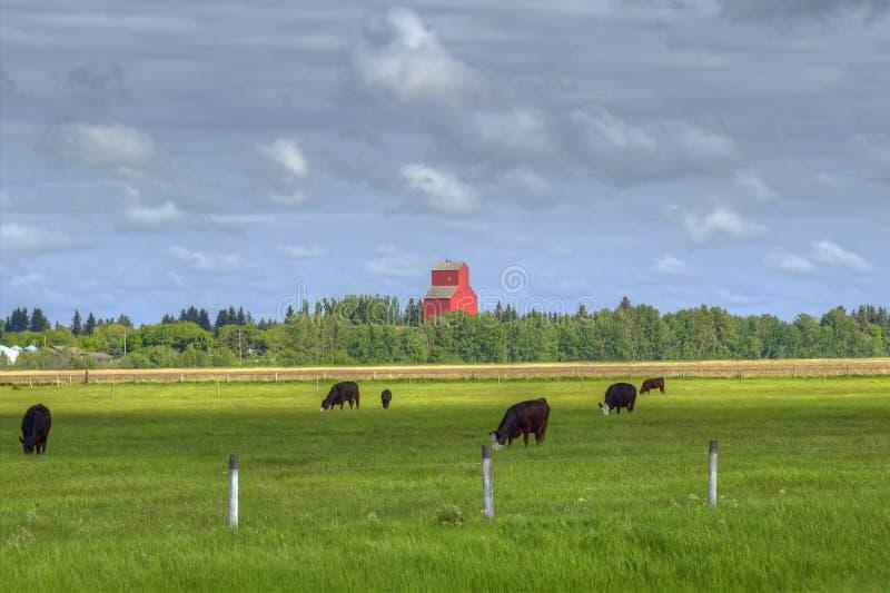 Pastando vacas pretas de angus fotografia de stock royalty free