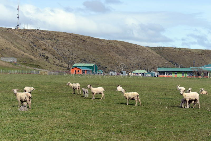 Paste para carneiros na vila de Cameron Tierra del Fuego fotografia de stock