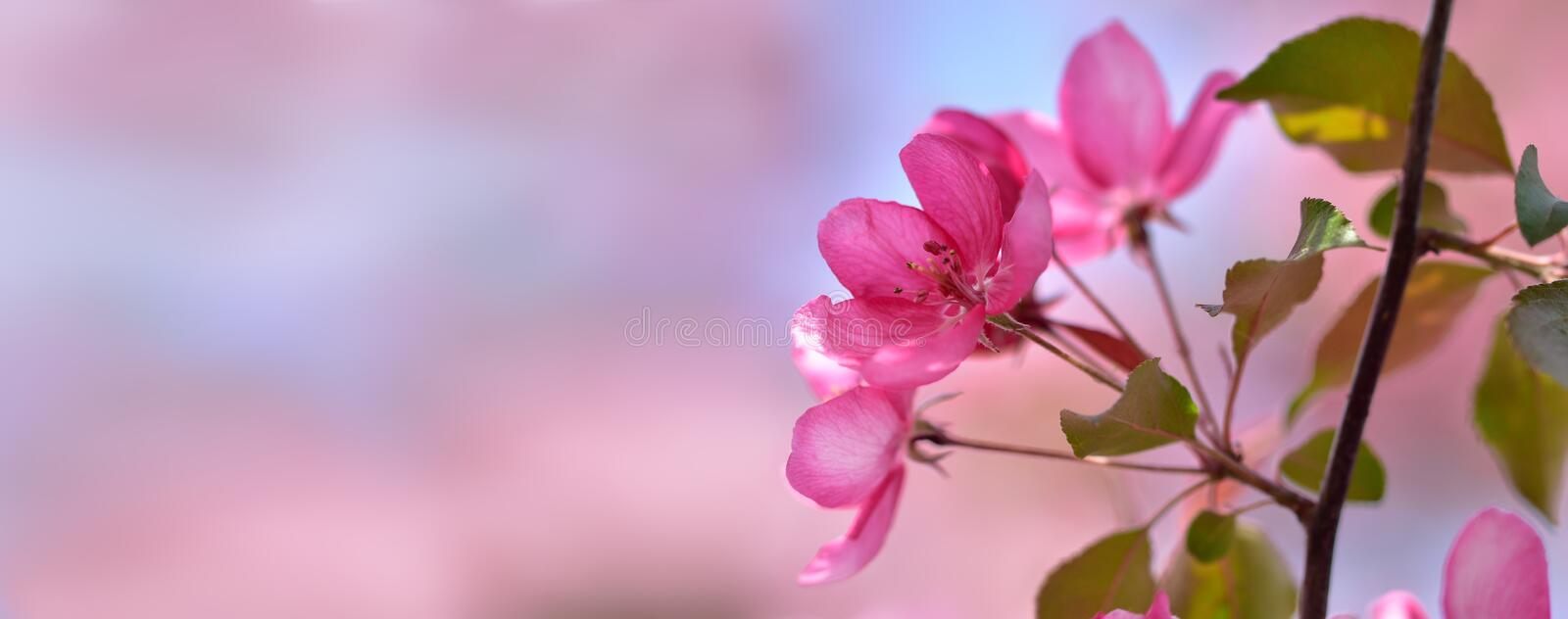 Pastel banner with inflorescence of spring flowers delicate pink apple royalty free stock photo