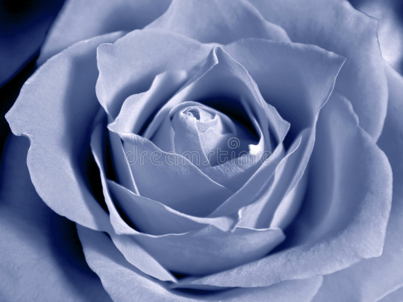Pastel blue rose stock image