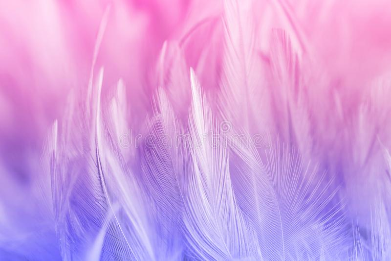Pastel colored of chicken feathers in soft and blur style. For the background royalty free stock photo