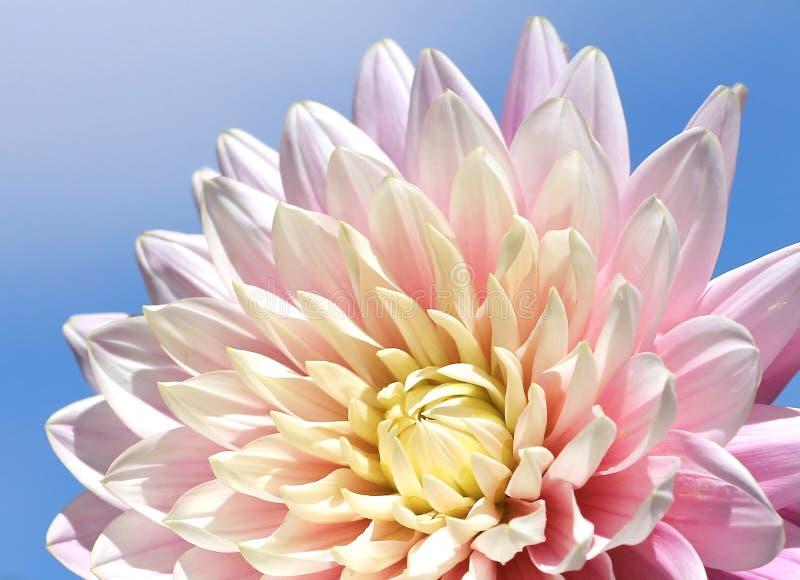 Pastel colored chrysanthemum flower, against blue sky. Part of a pastel colored chrysanthemum flower, against blue sky royalty free stock image