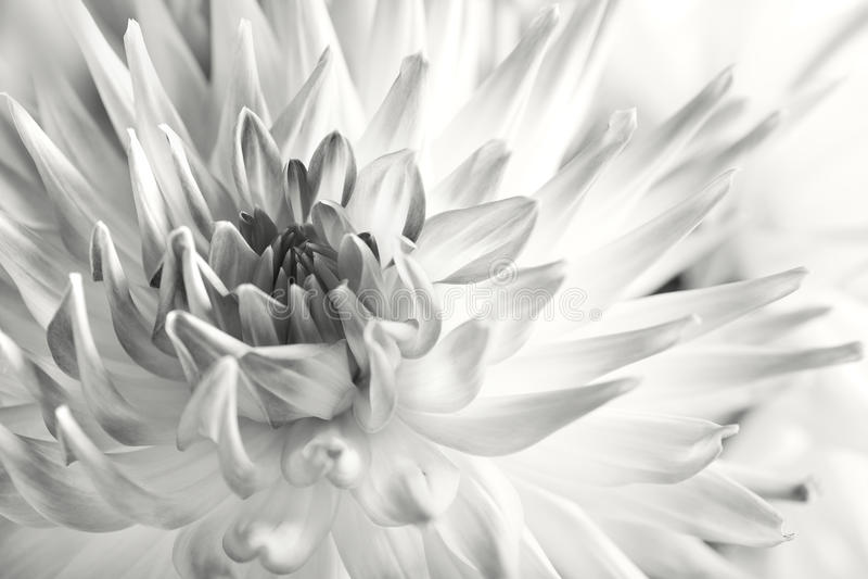 Pastel colored dahlia flower stock image