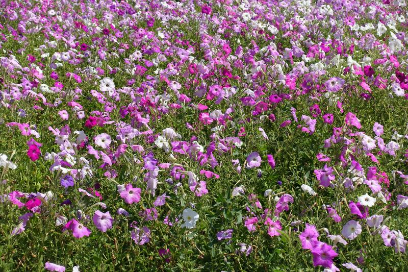 Pastel colored petunias in shades of pink. Pastel colored petunias in various shades of pink royalty free stock image