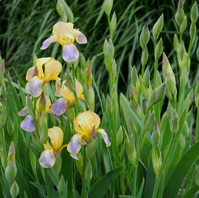 Mauve And Yellow Gladiolas In Bloom stock photos