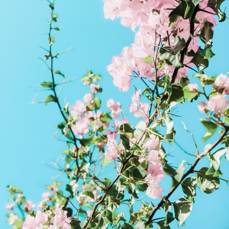 Pastel pink blooming flowers and blue sky in a dream garden, floral background royalty free stock photo