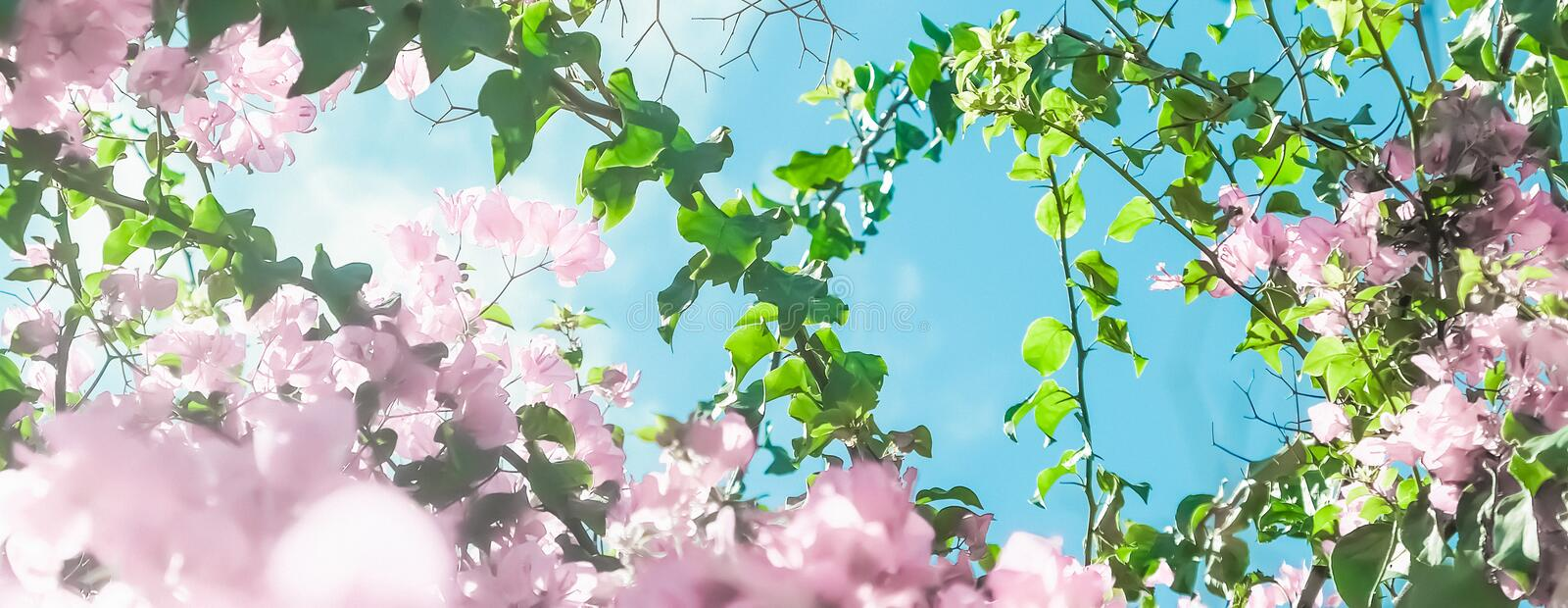 Pastel pink blooming flowers and blue sky in a dream garden, floral background stock images