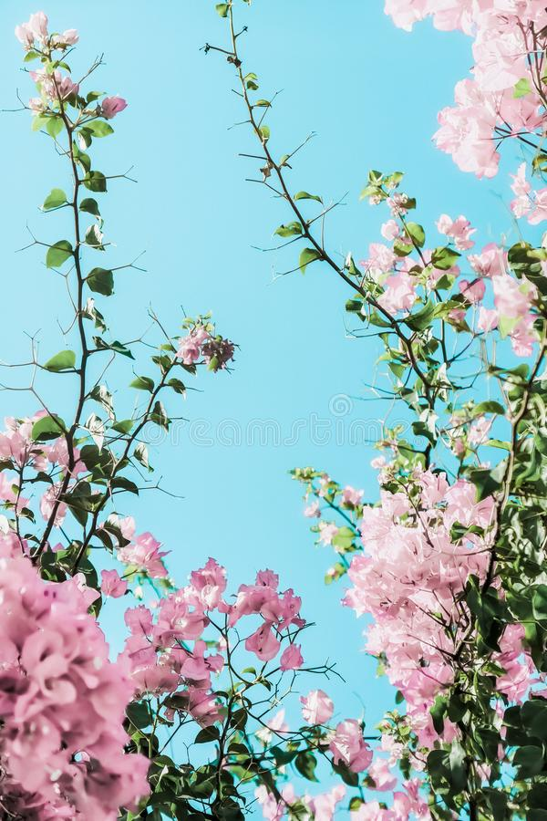 Pastel pink blooming flowers and blue sky in a dream garden, floral background royalty free stock images