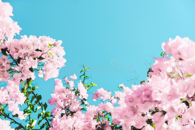 Pastel pink blooming flowers and blue sky in a dream garden, floral background stock photography