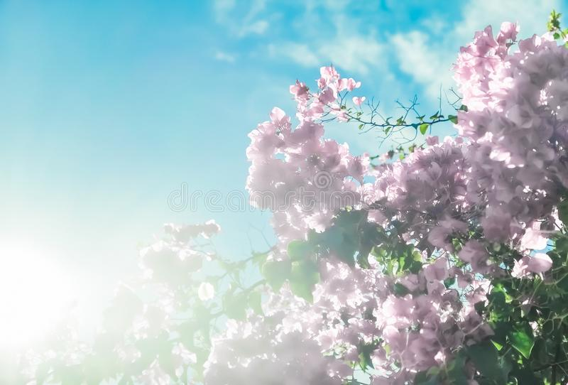 Pastel pink blooming flowers and blue sky in a dream garden, floral background royalty free stock photos