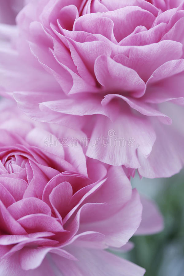 Pastel pink flowers stock photography